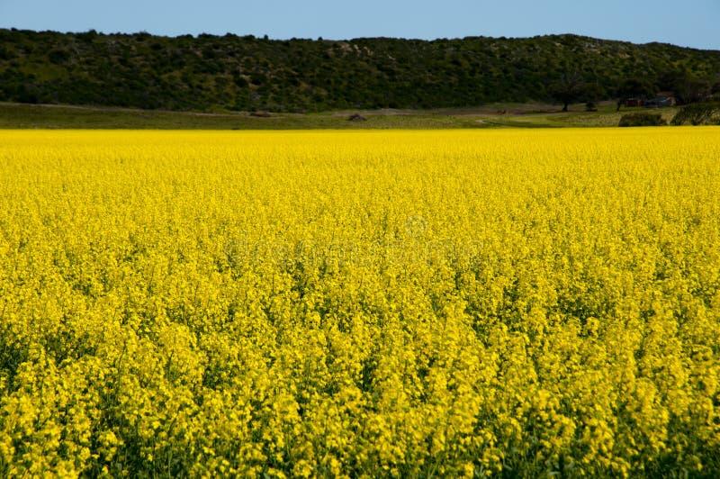 Gisement de graine de colza dans le mi ouest photos libres de droits
