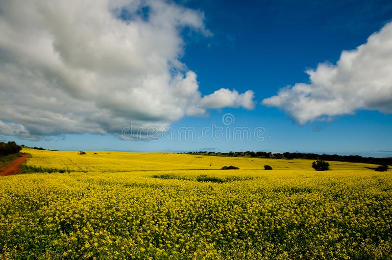 Gisement de graine de colza dans le mi ouest photo libre de droits
