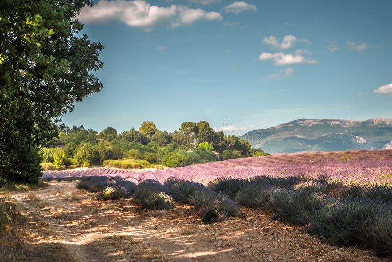 Gisement de lavande contre le ciel bleu en Provence photographie stock libre de droits