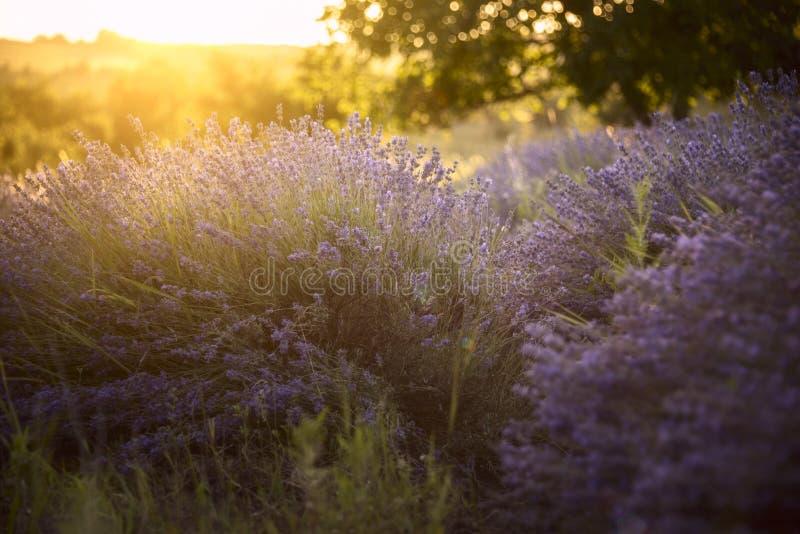 Gisement de lavande dans les rayons du coucher de soleil images stock