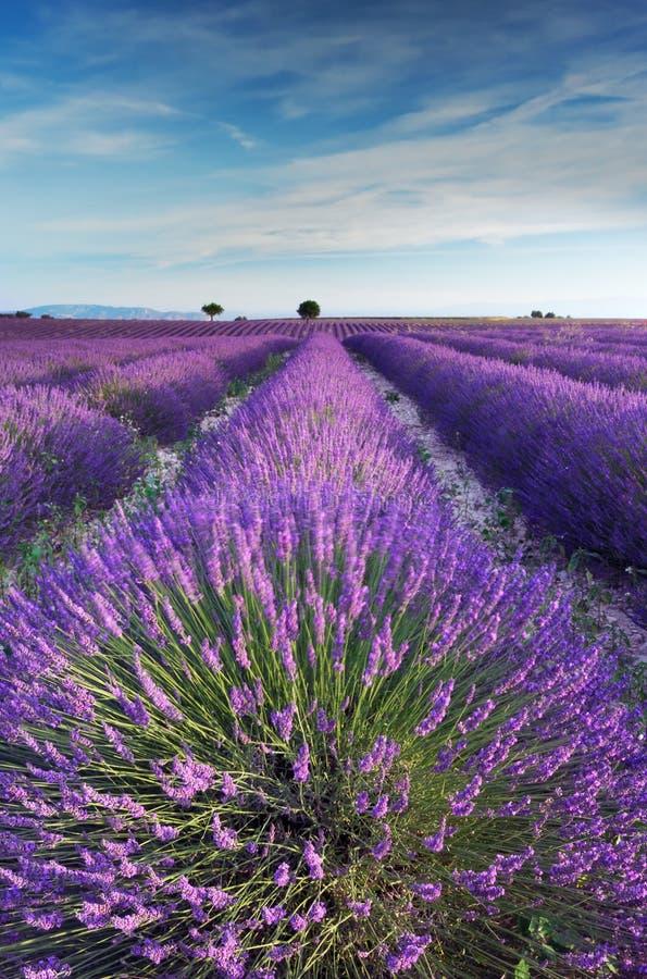 Gisement de lavande en Provence pendant le début de la matinée image stock