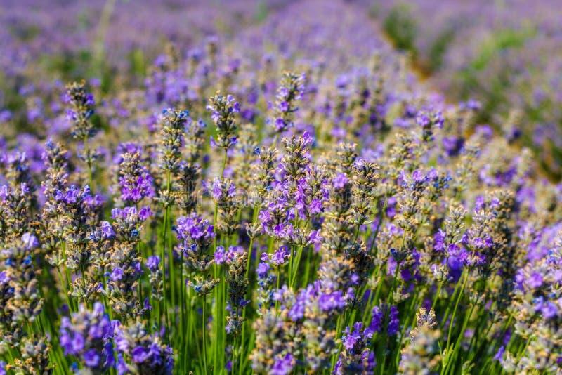 Download Gisement De Lavande, Plateau De Valensole Photo stock - Image du parfum, aromatherapy: 56484806