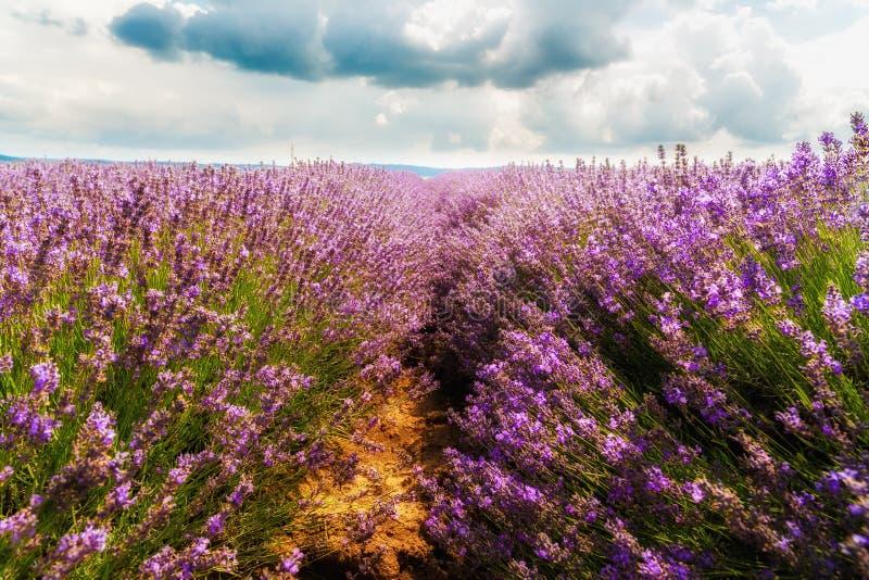 Download Gisement De Lavande, Plateau De Valensole Photo stock - Image du floraison, arome: 56484826
