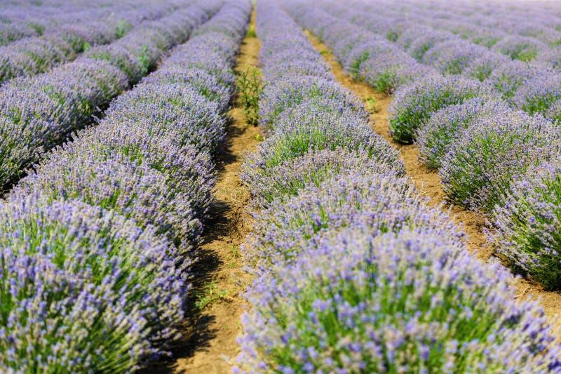 Download Gisement De Lavande, Plateau De Valensole Photo stock - Image du nature, coloré: 56485706