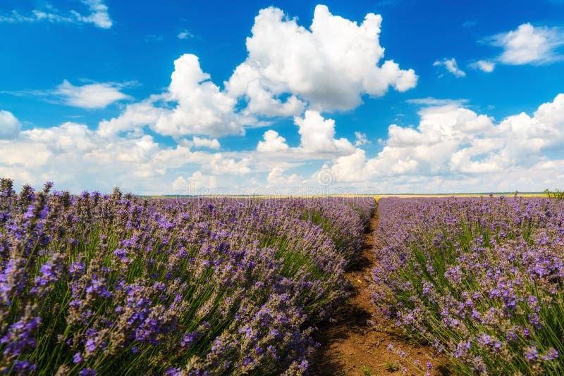 Download Gisement De Lavande, Plateau De Valensole Photo stock - Image du excessif, français: 56486036