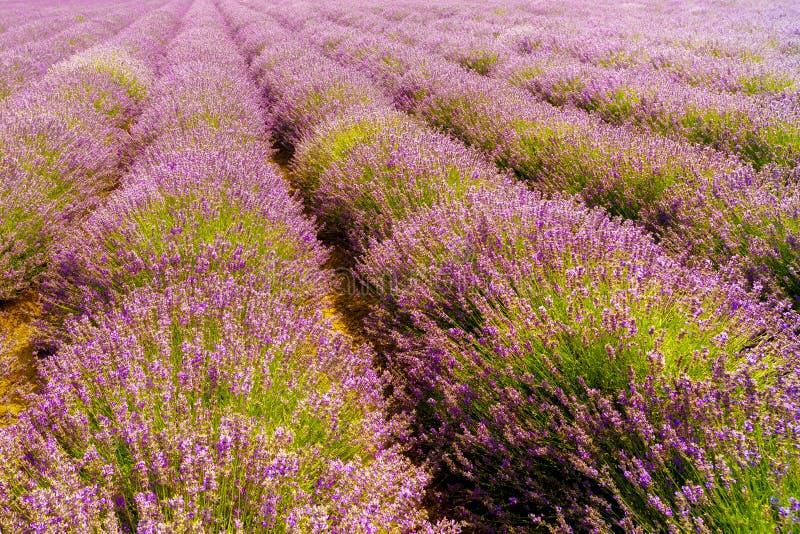 Download Gisement De Lavande, Plateau De Valensole Photo stock - Image du moisson, excessif: 56486044