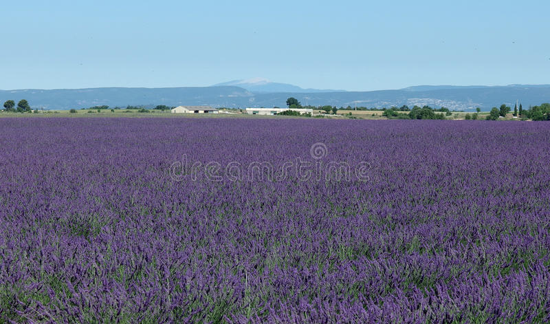 Download Gisement De Lavande, Provence, Au Sud Des Frances Photo stock - Image du utilisé, lavande: 56476328