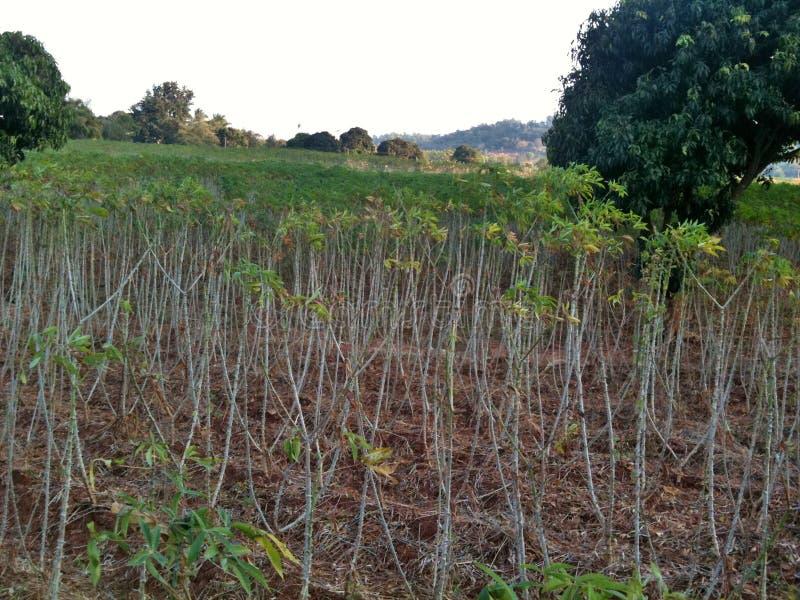 Gisement de manioc dans la vallée image stock