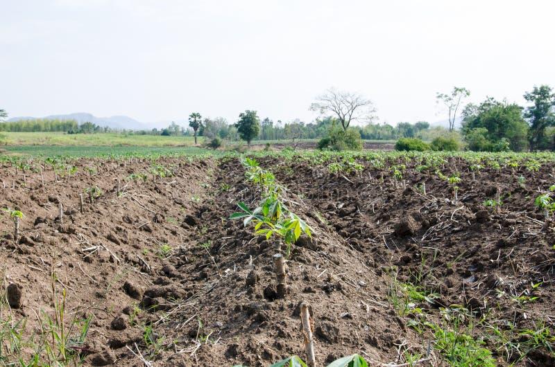 Gisement de manioc sous la lumière du soleil image libre de droits