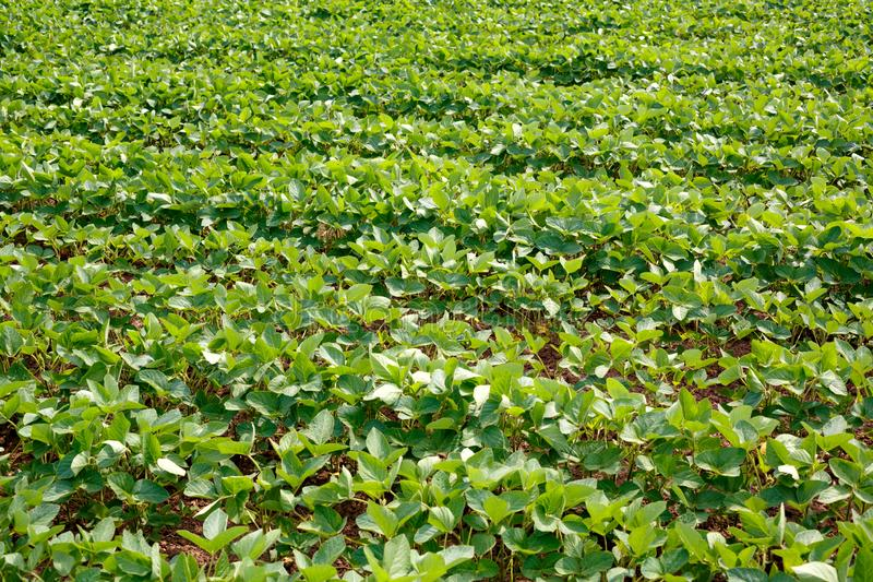 Gisement de maturation vert de soja Lignes de soja Plantation de soja images libres de droits