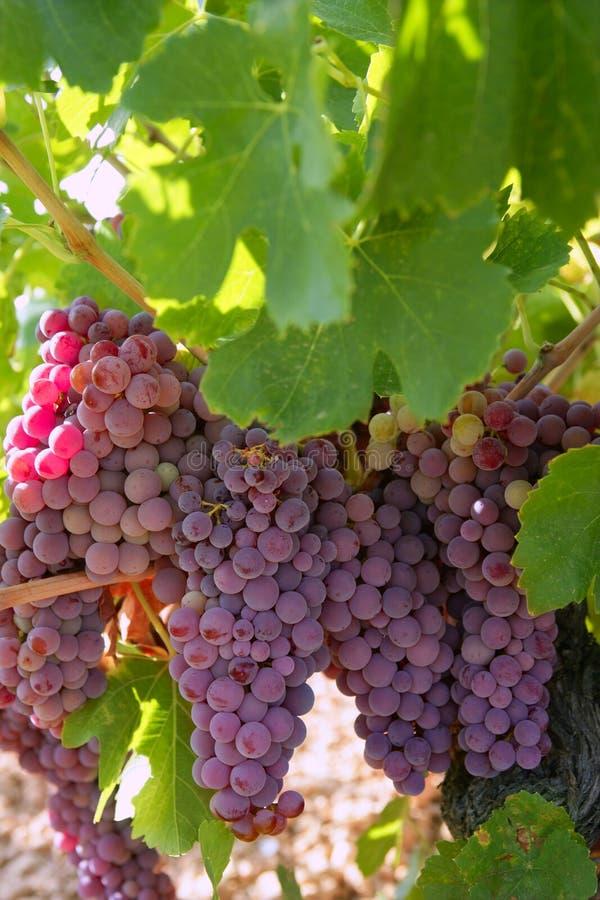 Gisement de pamplemousse de rouge de vin d'agriculture photographie stock