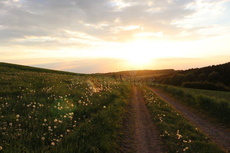 Gisement de pissenlit de coucher du soleil d'été photos libres de droits