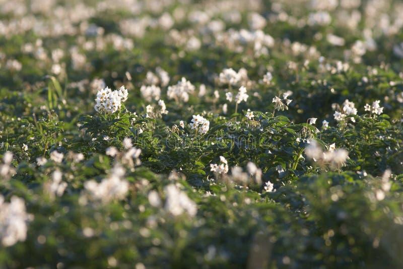 Gisement de pomme de terre avec des fleurs image libre de droits