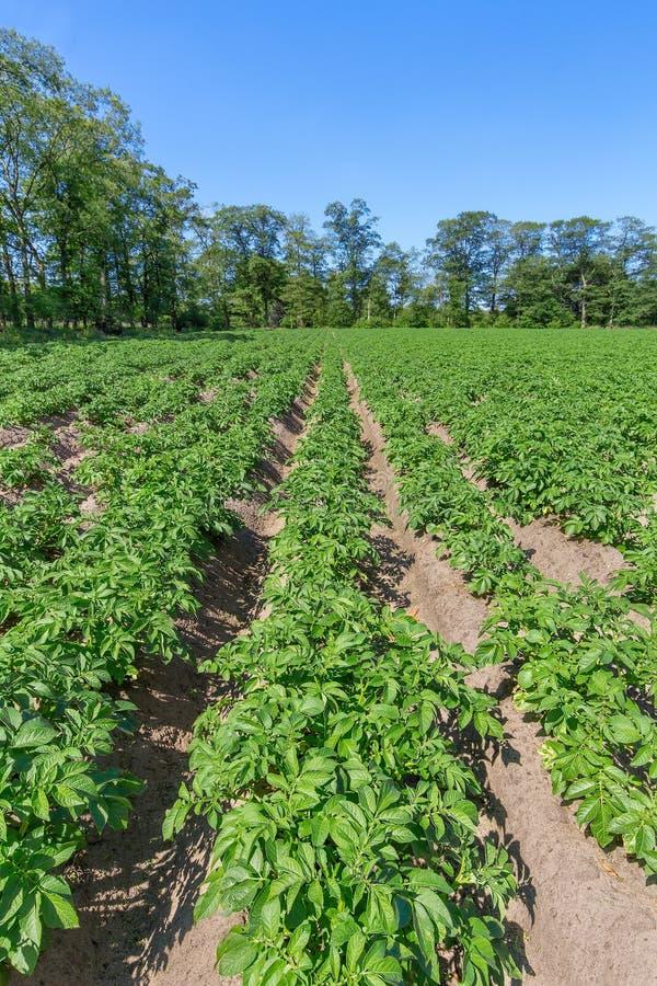 Gisement de pomme de terre avec des rangées des plantes de pomme de terre en Hollande photographie stock libre de droits