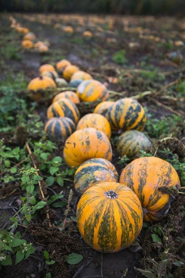Gisement de potiron à la ferme organique image libre de droits