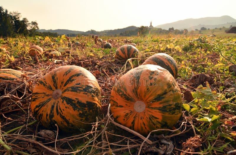 Gisement de potiron avec de grands potirons mûrs oranges image libre de droits