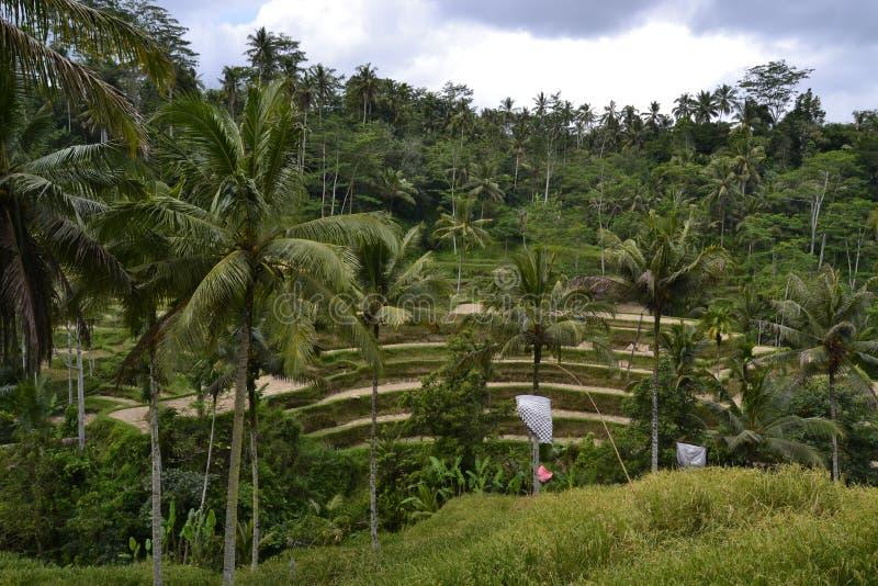 Gisement de riz photographie stock libre de droits