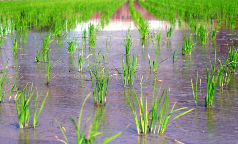 Gisement de riz au printemps photo stock