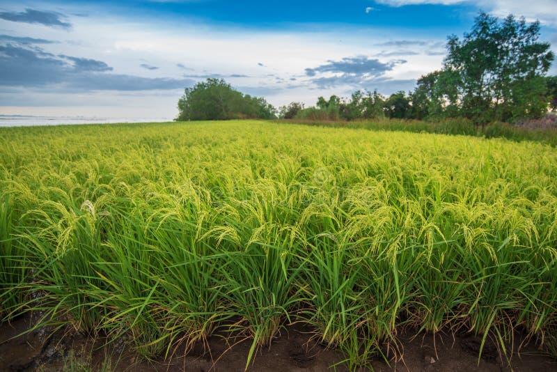 Gisement de riz avec le ciel bleu lumineux images libres de droits