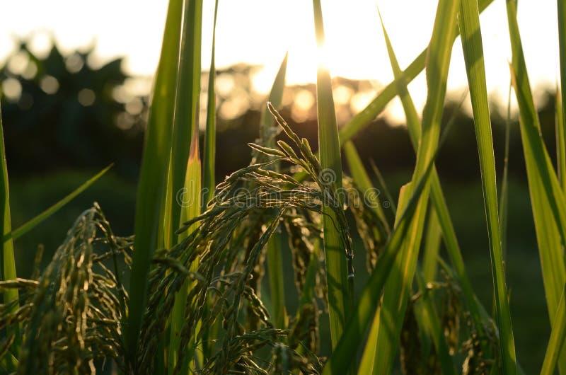 Gisement de riz avec le coucher du soleil photographie stock libre de droits
