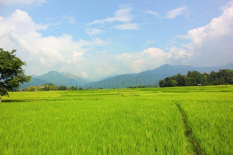 Gisement de riz avec le fond de ciel bleu photographie stock