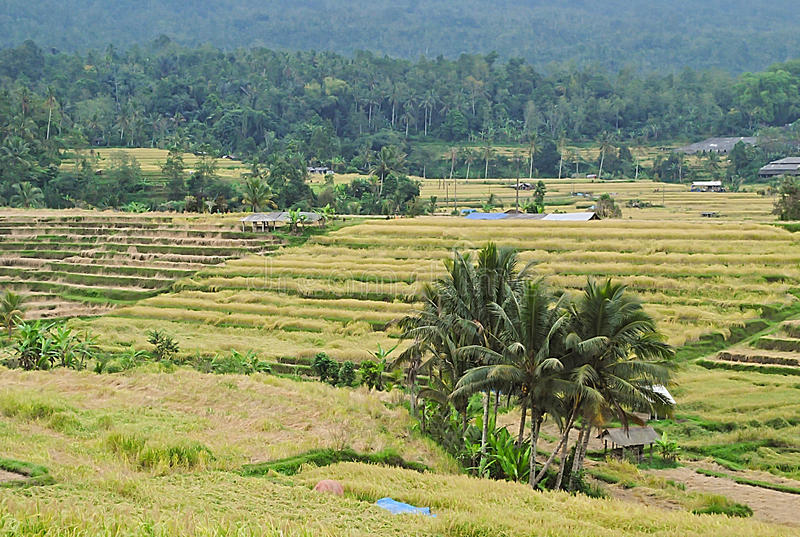 Gisement de riz chez Bali image libre de droits