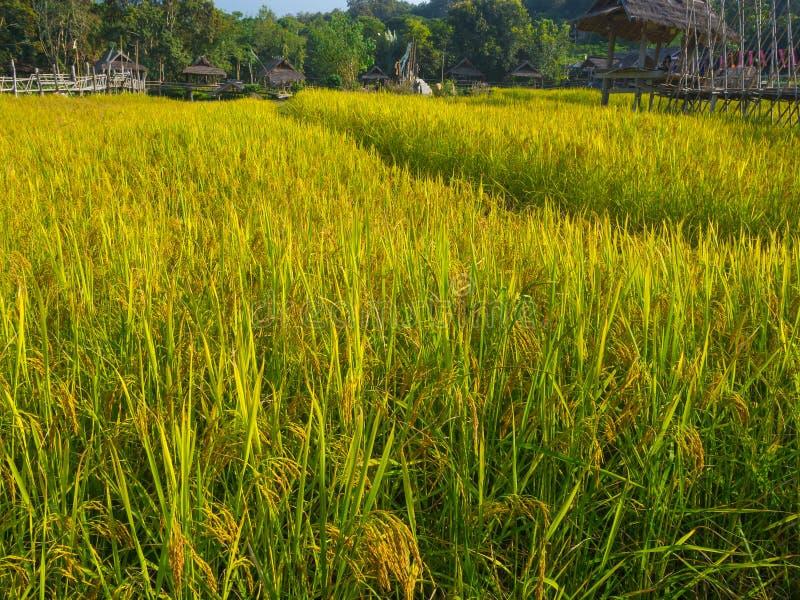 Gisement de riz d'agriculteur et de soleil pendant le matin, en Thaïlande image libre de droits