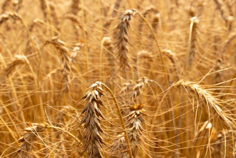 Gisement de riz d'orge photos stock