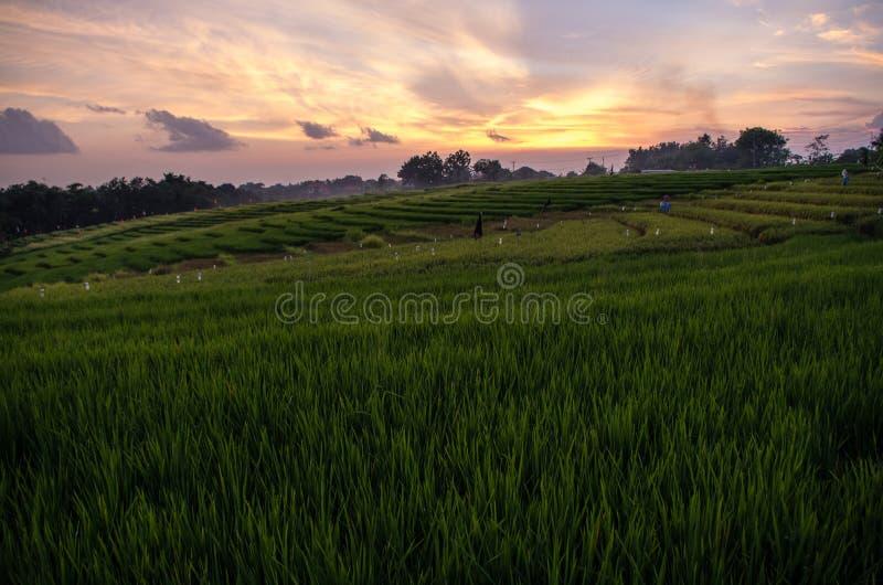 Gisement de riz dans Bali au temps de coucher du soleil, Indonésie photographie stock