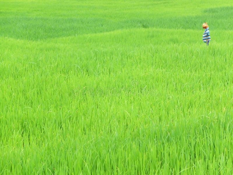 Gisement de riz dans Goa, Inde photo stock