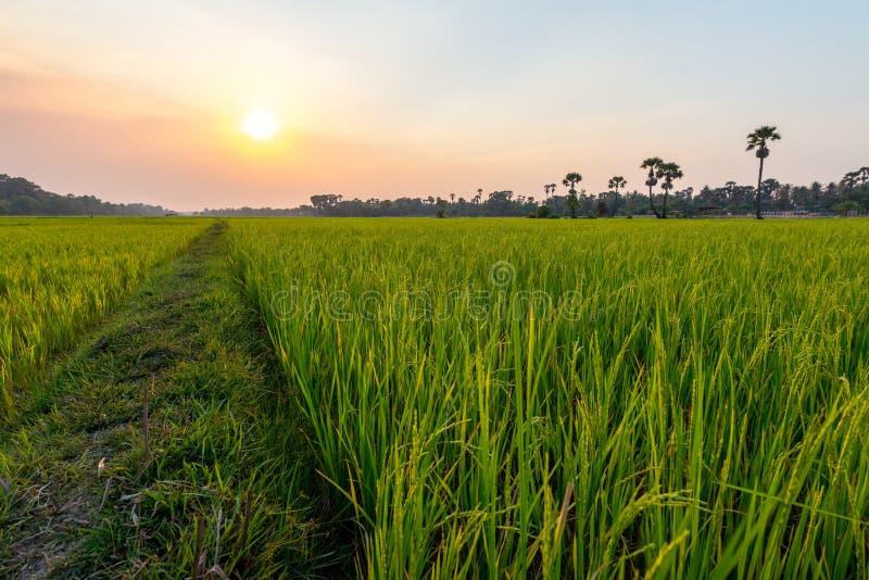 Gisement de riz dans Siem Reap, Cambodge en avril 2016 photos libres de droits