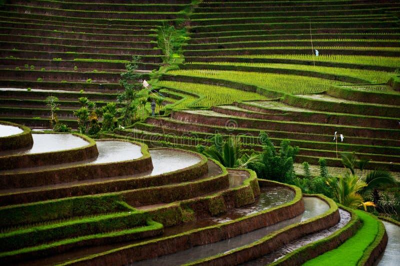 Gisement de riz de Bali image stock