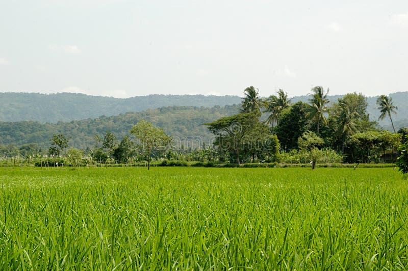 Gisement de riz de Beatifull photographie stock libre de droits