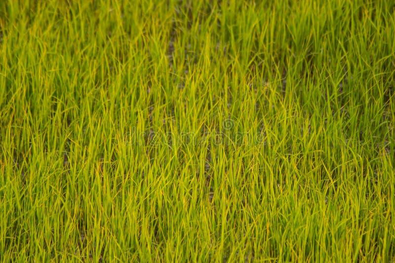Gisement de riz de fond images stock