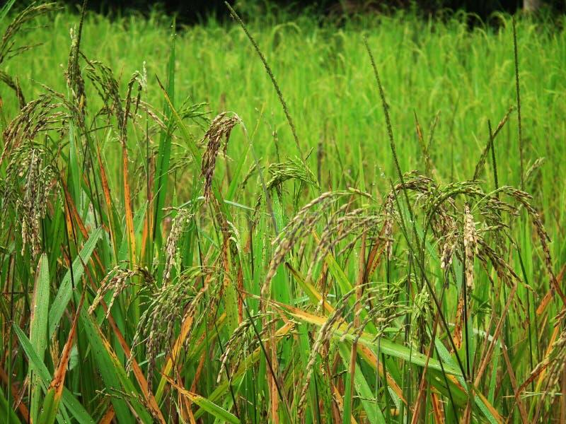 Gisement de riz en Thaïlande image stock