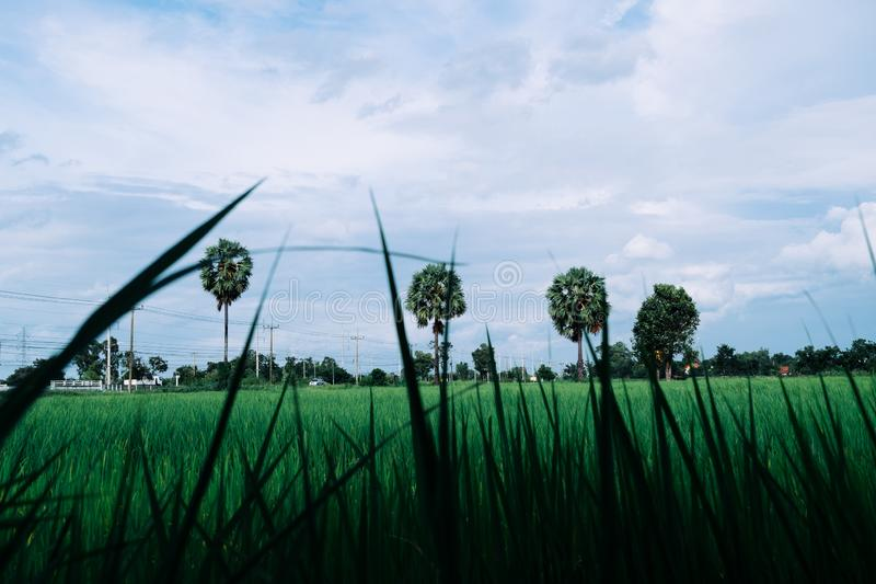 Gisement de riz en Thaïlande avec le palmier à sucre trois images stock
