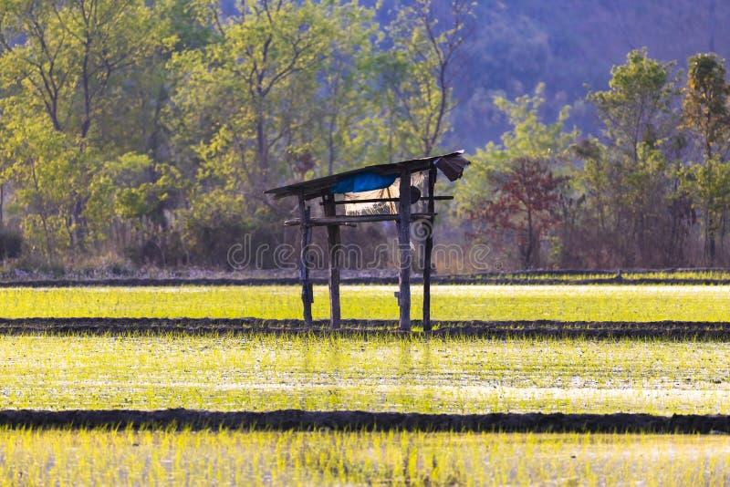 Gisement de riz et central dans le domaine une petite hutte photo stock