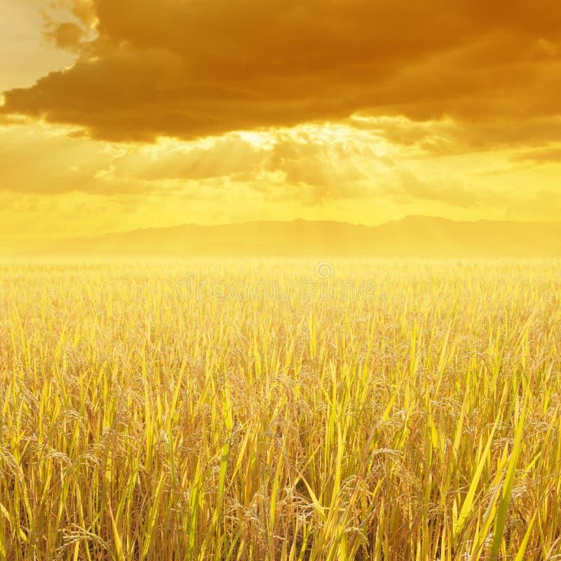Gisement de riz et montagne jaunes de coucher du soleil pour le fond en Thaïlande photographie stock