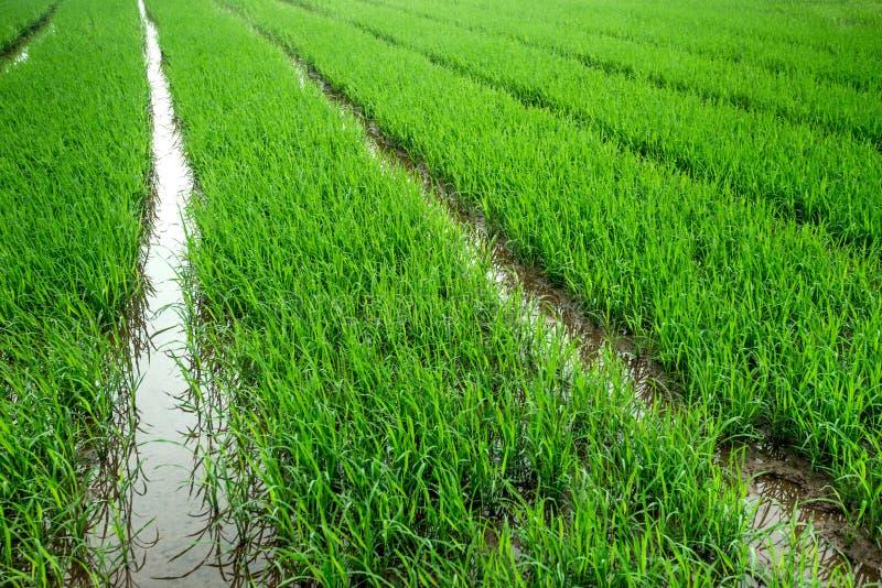 Gisement de riz et riz planté dans l'eau photos libres de droits