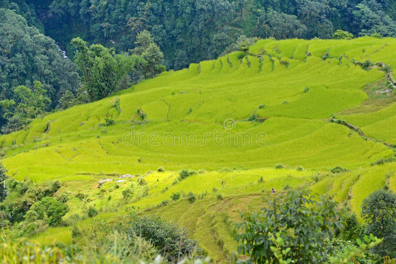 Gisement de riz prêt pour moissonner au Népal photos stock