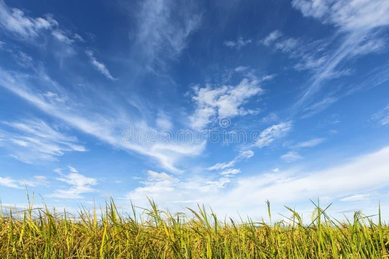 Gisement de riz sous le ciel nuageux photo libre de droits