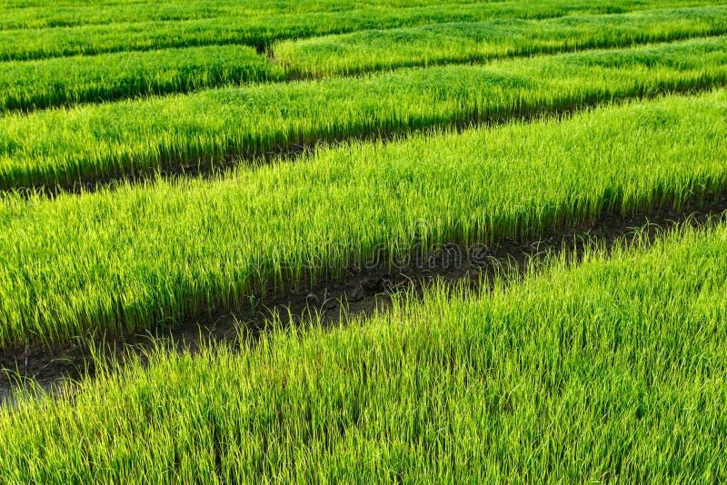 Gisement de riz sous le ciel nuageux images stock