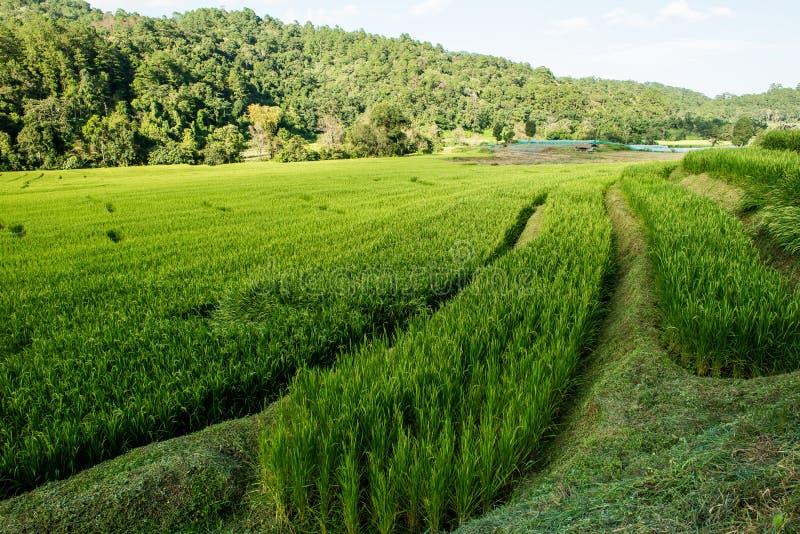 Gisement de riz sur le nord de la Thaïlande image libre de droits