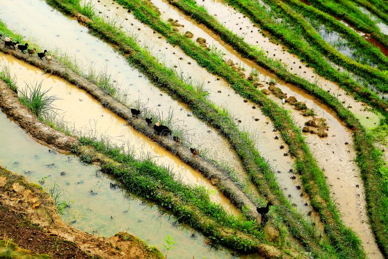 Gisement de riz de terrasse de Longji photographie stock libre de droits