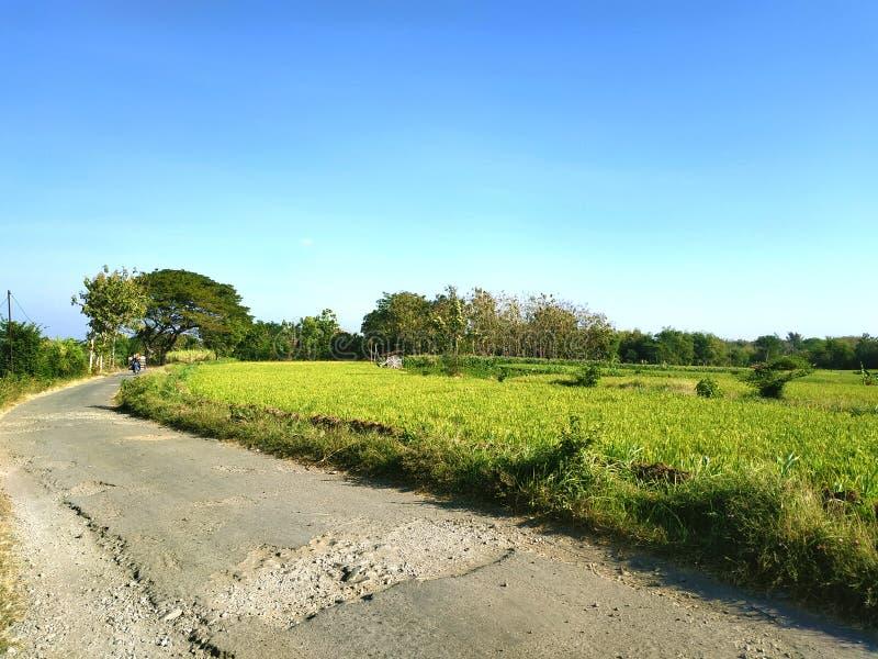 Gisement de riz de vert de vue panoramique à la soirée photo libre de droits