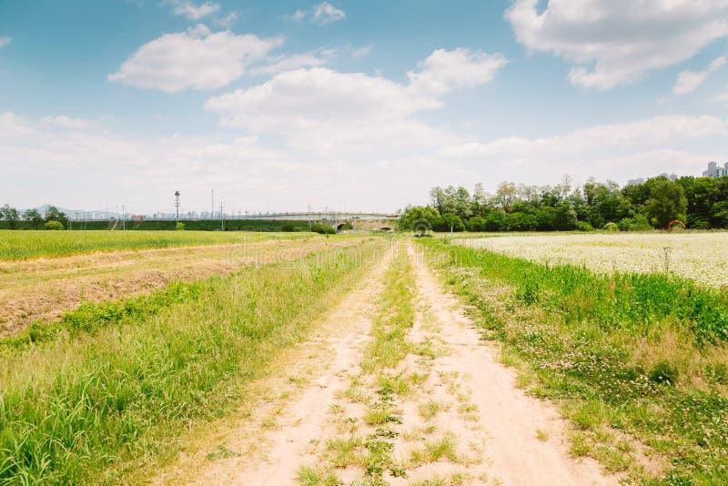 Gisement de sarrasin et route de campagne à la journée de printemps photographie stock libre de droits