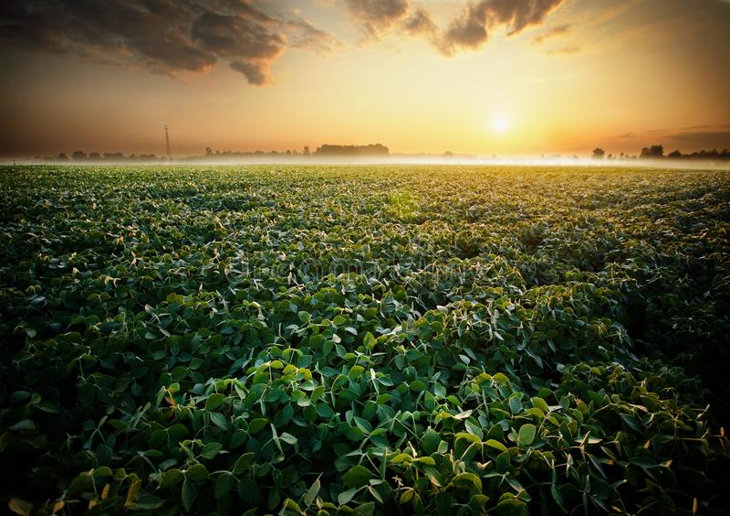 Gisement de soja photographie stock