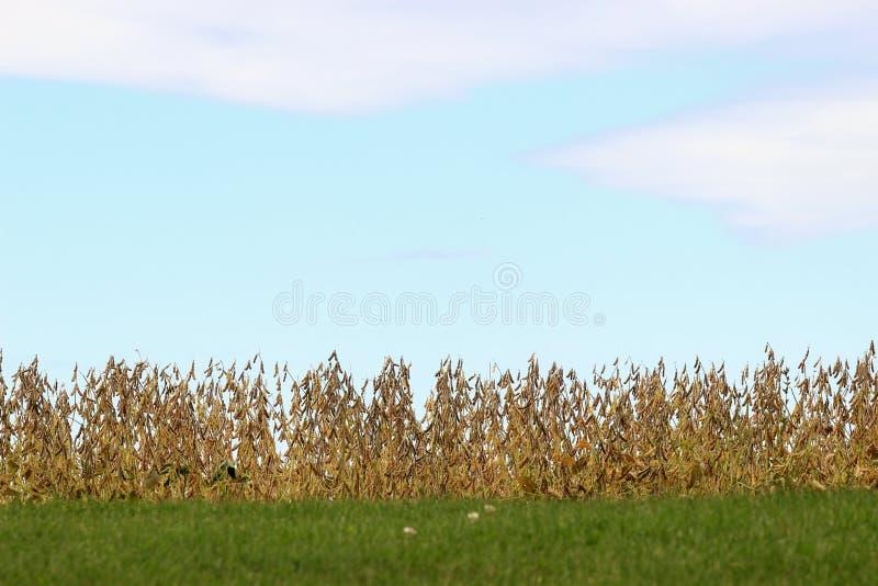 Download Gisement de soja photo stock. Image du haricot, agriculture - 45364910