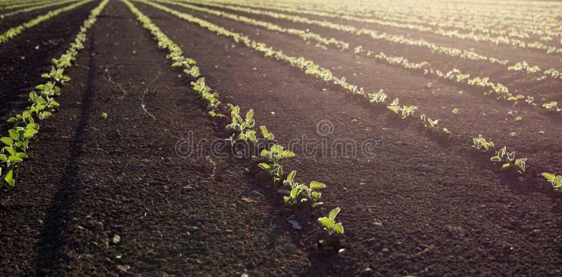 Gisement de soja au printemps photographie stock