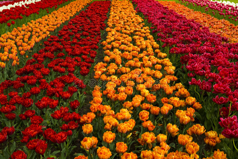 Gisement de source avec des tulipes photographie stock